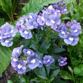 Perk nemesia sunpeddle blue rose