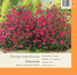 VIPS Dianthus deltoides 'Brilliant'