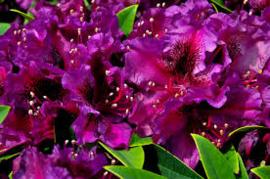 rhododendron hybride donker violet 20/25cm hoog