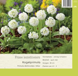 VIPS Primula denticulata 'Alba'