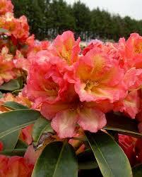 rhododendron hybride roosgeel 20/25cm hoog
