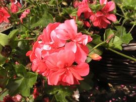 hang geranium pac. dresdner apricot