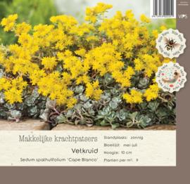 VIPS Sedum spathulifolium 'Cape Blanco'