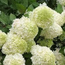 hydrangea paniculata limelight