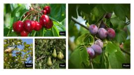 Hoogstam fruitbomen