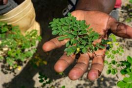 Moringa: 90 voedingsstoffen en meer dan 46 antioxidanten