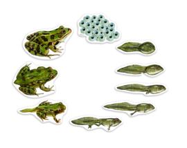 Reuze magnetische levenscyclus van de kikker