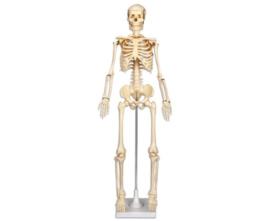 Het skelet 80 cm