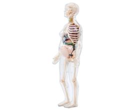 Anatomiemodel zwangere vrouw