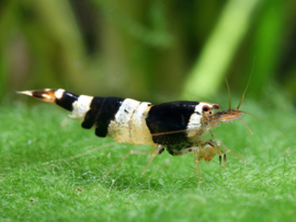 Caridina sp. Black crystal shrimp