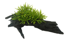Pogostemon helferi (S) op hout 15-20 cm.