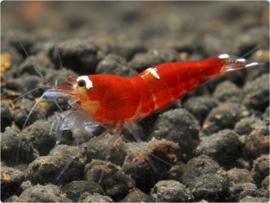 Caridina logemanni cf. Super crystal red (SCR)