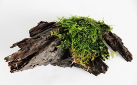Moss on Wood Size S ( 15 cm.)