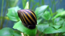 Neritina turrita, zebra renslak