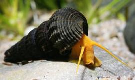 Tylomelania spec.Orange Rabbit Snail