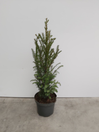 Taxus Baccata 40/60