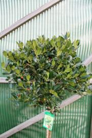 Ilex Aquifolium J.C Van Tol