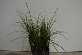 Carex Magic Green