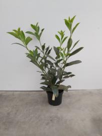 Prunus laur caucasica 60/80
