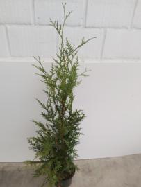 Thuya plicata atrovirens 120/140