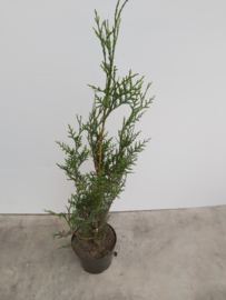Thuya plicata atrovirens 80/100