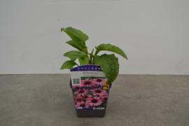 Echinacea purp. Magnus