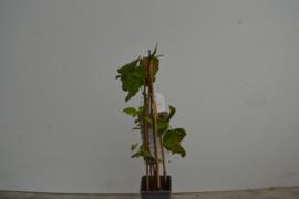 Rubus Loganbes