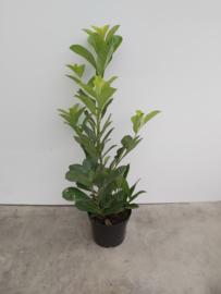 Prunus laur rododentifolia 60/80