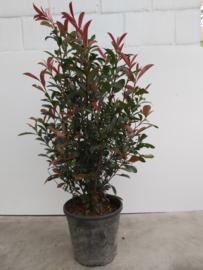Photinia Frazerie red robin 80/100