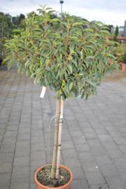 Prunus Lusitacica Angrustifolia