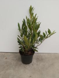 Prunus otto luyk 40/60