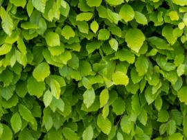 Beukenhaag Groen