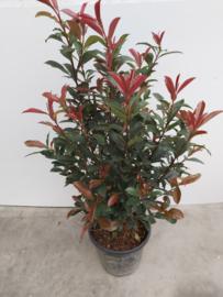 Photinia red robin compacta 80/100