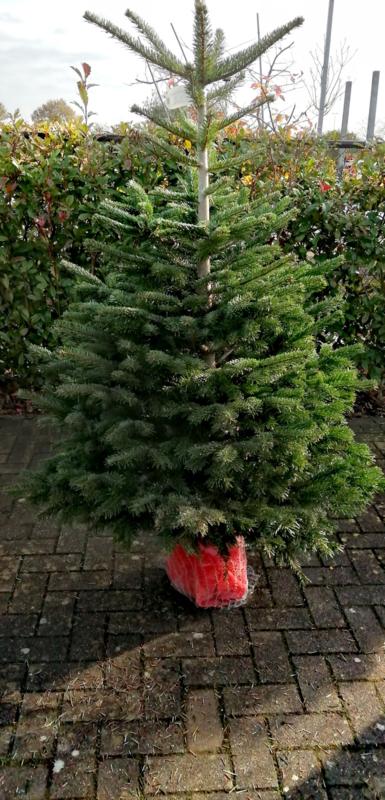 Nordmann Abies Nordmann kerstbomen