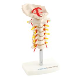 HEINE SCIENTIFIC Anatomisch model halswervelkolom