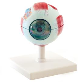 HEINE SCIENTIFIC Anatomisch model oog (6 delig)