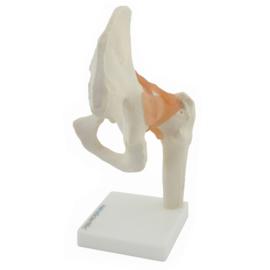 HEINE SCIENTIFIC Anatomisch model heup gewricht met ligamenten