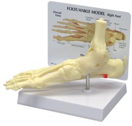 Anatomisch model Voet / enkel