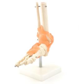 HEINE SCIENTIFIC Anatomisch model voet skelet met ligamenten