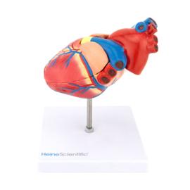 HEINE SCIENTIFIC Anatomisch model hart