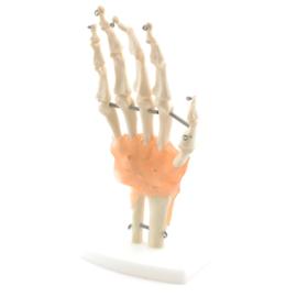 HEINE SCIENTIFIC Anatomisch model hand skelet met ligamenten