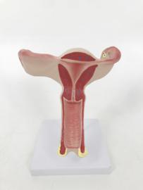 Anatomisch model Uterus / Baarmoeder