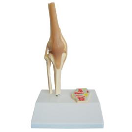 HEINE SCIENTIFIC Anatomisch model knie op ware grootte