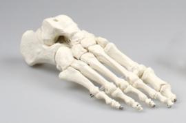 Voet skelet model