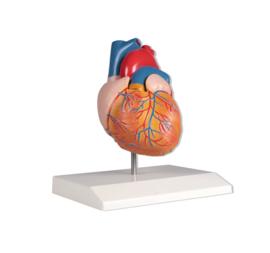 Anatomisch model Hart (2 delen)