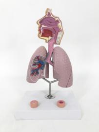 Anatomisch model Astma