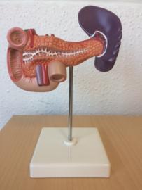 Anatomisch model Pancreas (alvleesklier), milt en galblaas