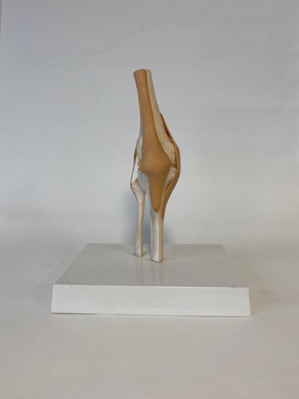 Anatomisch model Knie gewricht