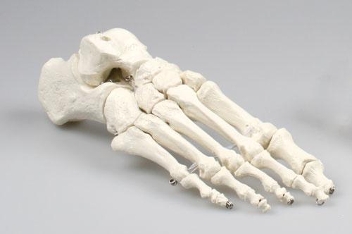 Anatomisch model Voet skelet