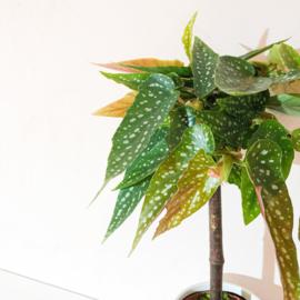 Begonia tamaya op stam